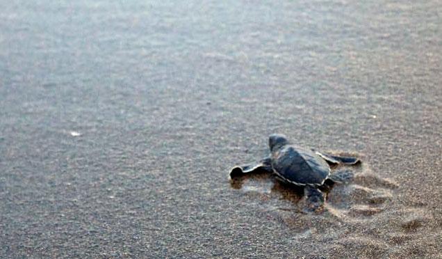 Yavru kaplumbağalar Samandağ'da yaşama koştu
