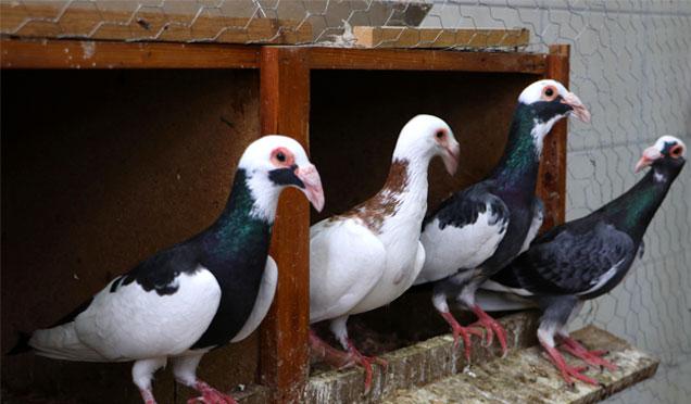 Hatay'da Güvercin tutkusu