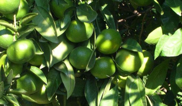 Yılın ilk mandalina hasadı Erzin'de yapıldı