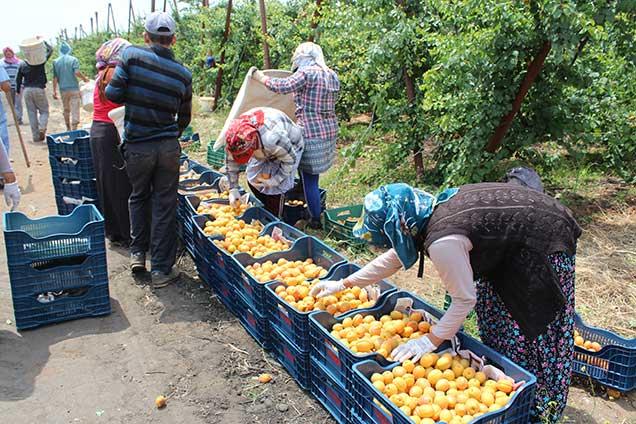 Kırıkhan'da erkenci kayısı hasadı başladı
