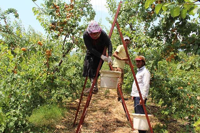 Arsuz'da kayısı hasadı başladı