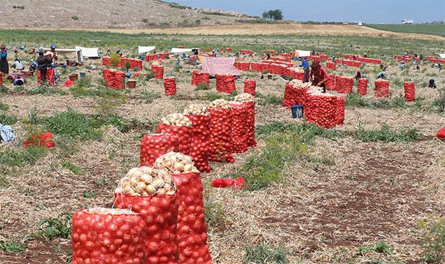 Soğan üreticisi fiyatlardan memnun