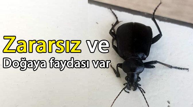 Etrafınızda sık gördüğünüz bu böceği öldürmeyin