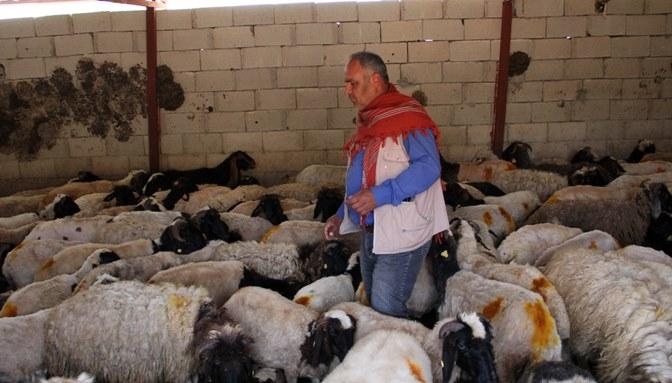 Çobana dağ ceylanı sürprizi