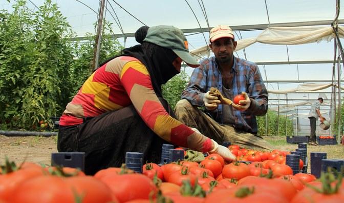 Kırıkhan'da domates hasadı