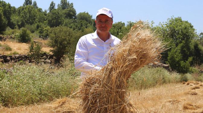 Hatay'da  GDO'suz Buğdayların Hasadı Gerçekleştirdi