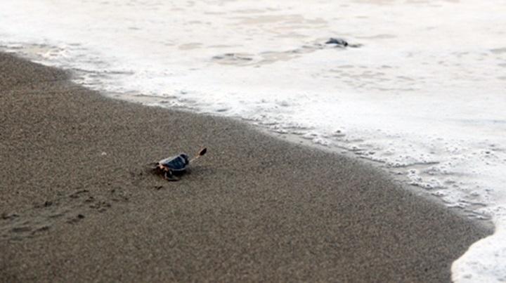 Caretta Carettalar Mavi Yolculuklarına Uğurlandı