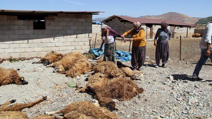 Kurtların saldırdığı 15 koyun telef oldu, 45'i ise yaralandı
