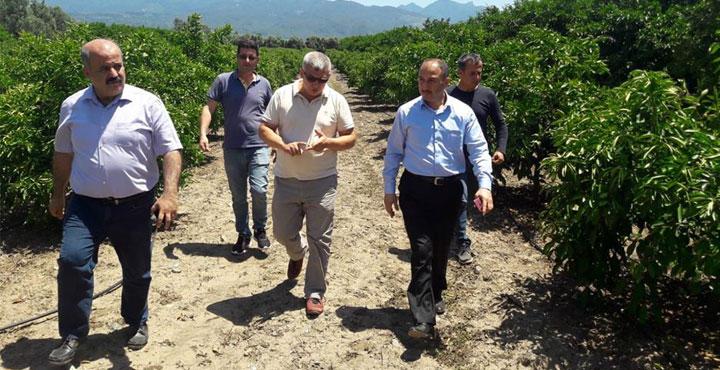 İl Müdürü Çolakoğlu, Zarar Gören Narenciye Bahçelerini Gezdi