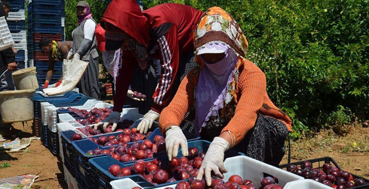 Hatay'dan Rusya, Ukrayna ve Arap ülkelerine erik ihracatı