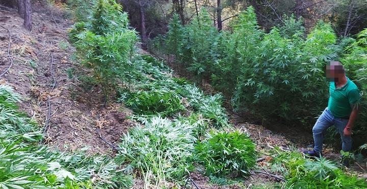 Ormanlık alanda esrar tarlası