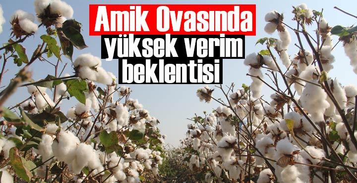 Amik Ovasında pamuk hasadı başladı