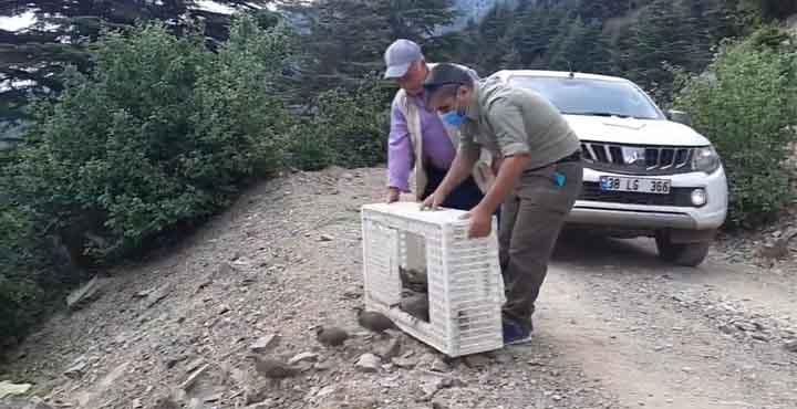 Hassa'da 600 Adet Kınali Keklik Doğaya Salındı