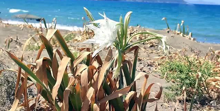 Zambaklar çiçek açtı; Koparmanın cezası 80 bin lira