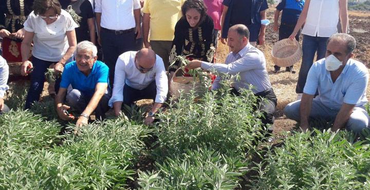 Arsuz'da Adaçayı Hasadı Etkinliği